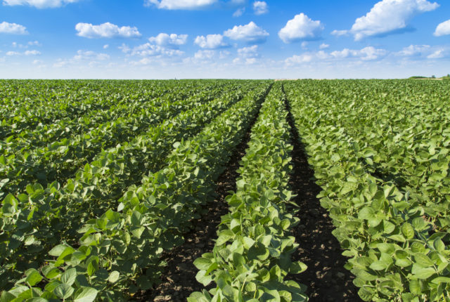 Soybean field ripening at spring season, agricultural landscape